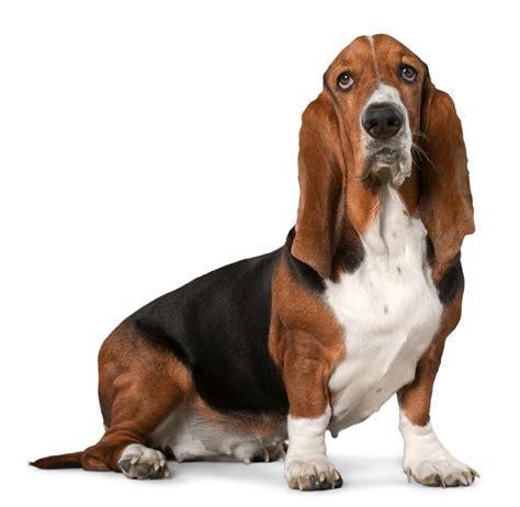 puppy basset hound quelques liens utiles