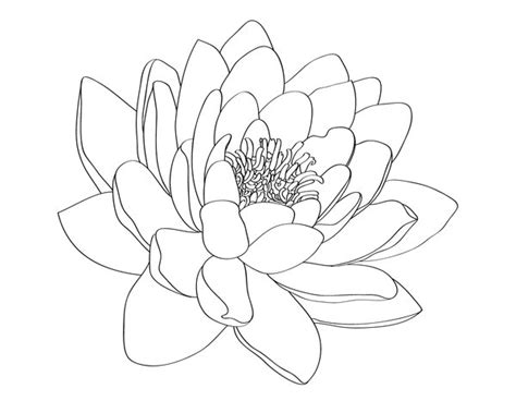 water lily tattoo designs lotus on lotus flower drawings lotus flowers