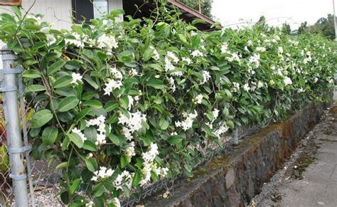 Eklusive Peredam Panas Wall Top top 10 beautiful climbing plants for fences and walls