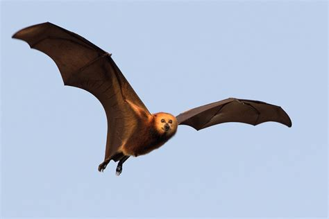 poll should mauritius be allowed to cull its bats