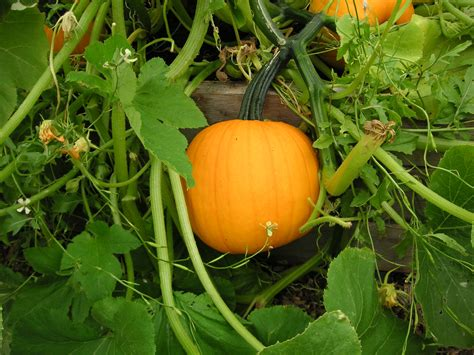 why do we use pumpkins on planning your fall harvest garden that bloomin garden