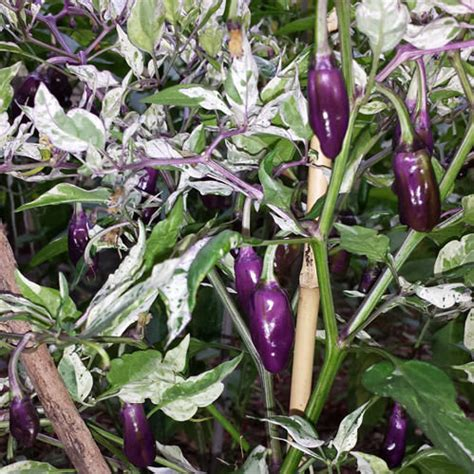 Benih Bibit Biji Cabe Candle Light Pepper Seeds Import jual benih bibit biji cabe purple tiger pepper seeds import onigiri frenzy