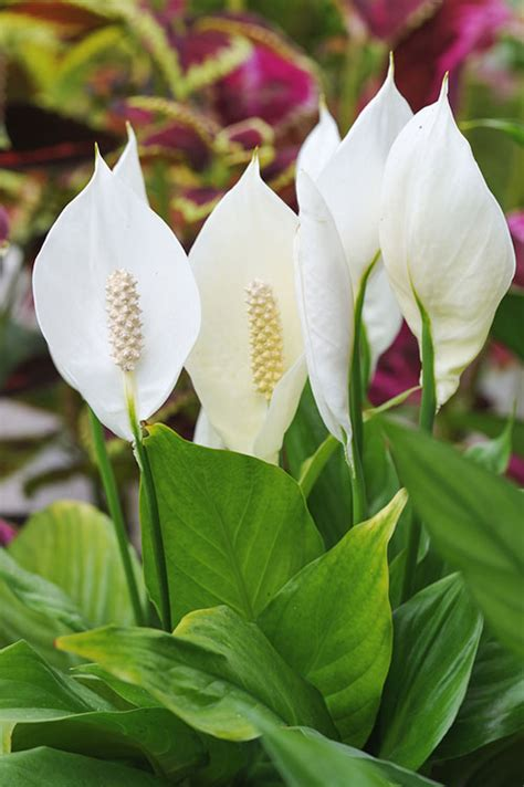 are peace lilies poisonous to dogs backyard series part 2 poisonous plants for dogs to keep out of your yard petsecure
