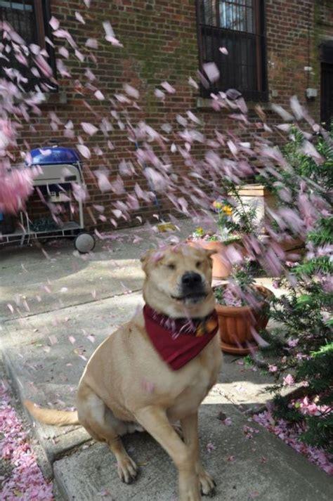 aristocats dogs aristocats cherry blossoms juxtaposedsabotage