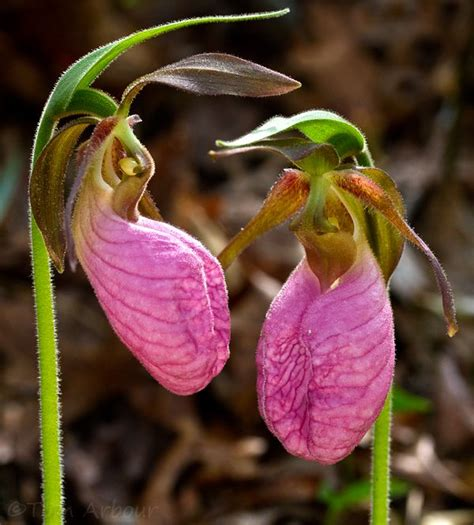 pink slipper flower pink slipper orchid flowers orchids