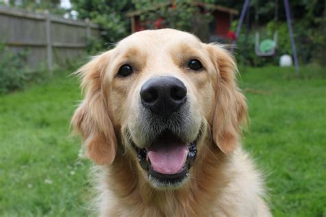 golden retriever forums golden retriever by gazgoyle on deviantart