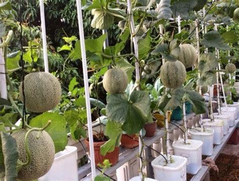 menanam hidroponik melon cara budidaya menanam melon hidroponik sistemhidroponik