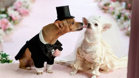 how between puppies wedding between puppies animals