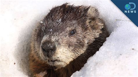 groundhog day origin the history groundhog day