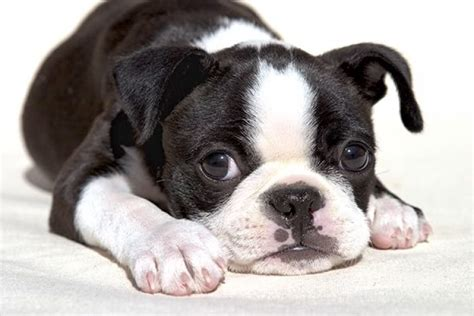 boston terrier puppies boston terrier puppy care pets world
