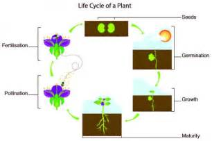 The Life Of A Flower - the life cycle of a maize plant including the diploid