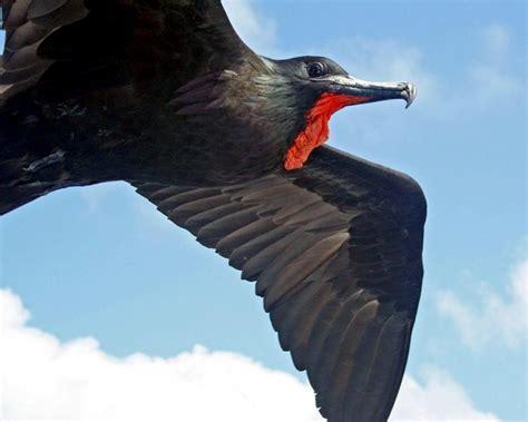"Magnificent Frigatebird – ""OCEAN TREASURES"" Memorial Library"