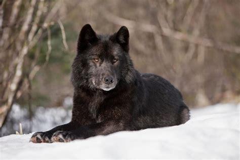 Eye Cleansing For Cats And Dogs Grand Size 20 Photos Sombres Et Sublimes Dans L Intimit 233 Du Loup Noir