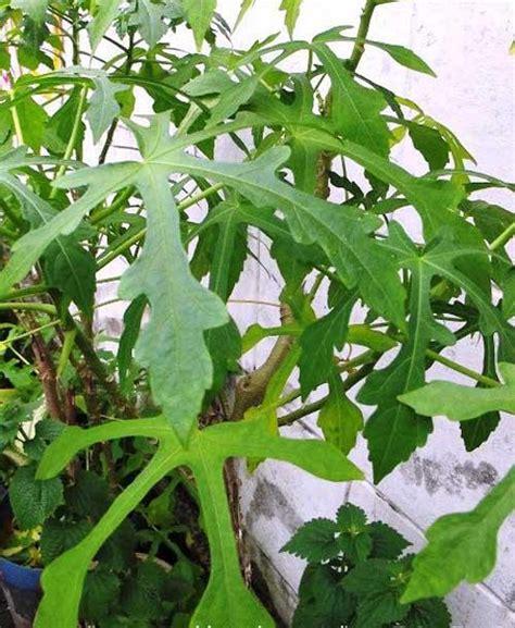 khasiat daun gedi  asam urat tinggi