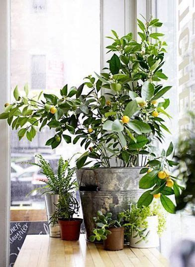 indoor fruit plants best 25 indoor trees ideas on pinterest best indoor