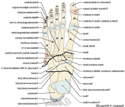 diagram of diagram of your left foot archives anatomy organ