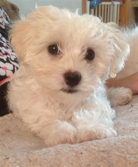 maltichon puppies adorable maltichon boy puppy for sale bury st edmunds suffolk pets4homes