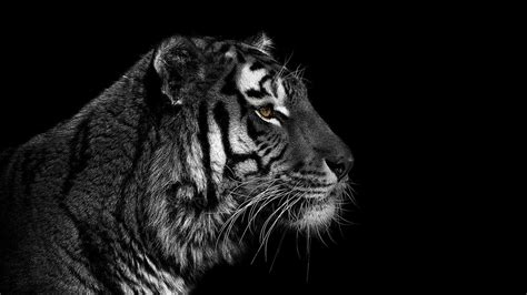 tiger wallpaper black and white hd cool tiger backgrounds tumblr