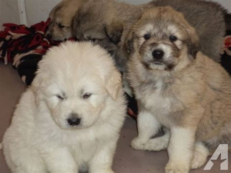 great pyrenees anatolian shepherd mix puppies for sale pin great pyrenees anatolian shepherd mix puppies on