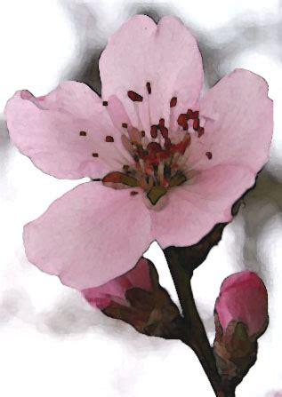 fiore di mandorlo sagra mandorlo in fiore con l acca