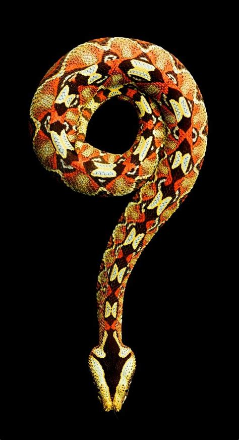 color pattern of poisonous snakes vivid snake photos come at a cost a bite from a black