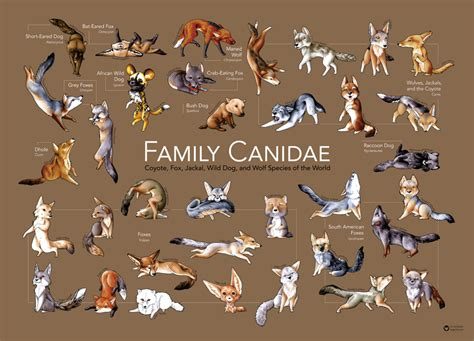 species canine family canidae poster by paperfox