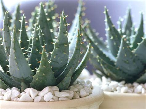 do aloe plants need sunlight green thumb our favorite indoor plants to grow in your