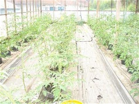Pinset Tanaman budidaya tomat hidroponik budidaya