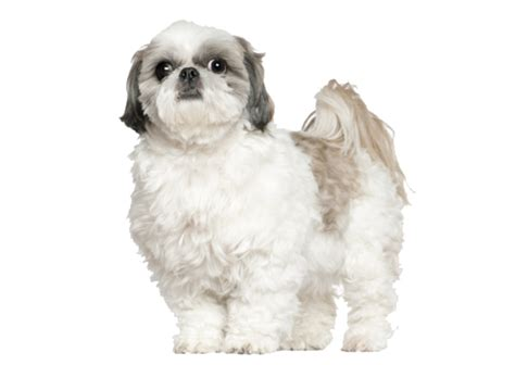 shih tzu with curly hair shih tzu dog breed information pictures and fun facts