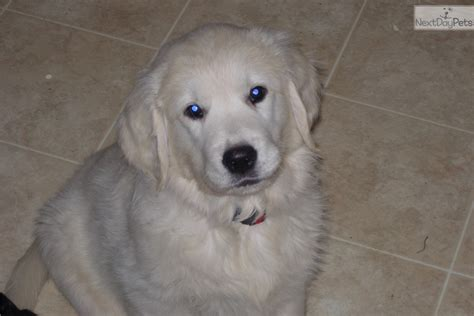 golden retriever puppies indianapolis golden retriever puppy for sale near indianapolis indiana b63f204a 6b61