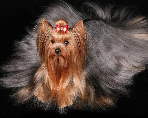 my yorkie puppy best images collections hd for gadget windows mac android