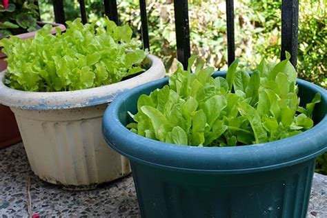 Lettuce Planters by Grow Fresh Salad Greens In Small Spaces Garden Living