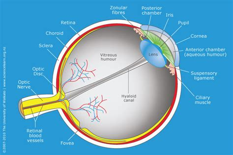 cross section of the human eye cross section through the human eye science learning hub