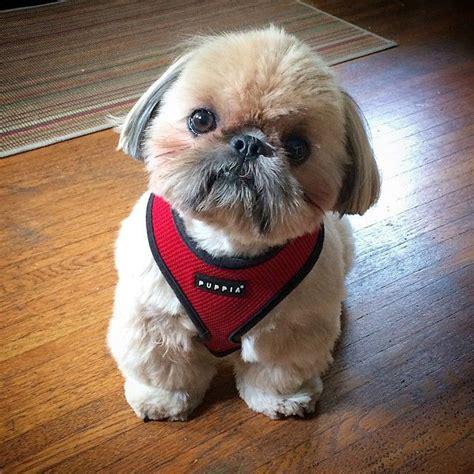 shih tzu puppy finder 2349 best images about shih tzu on lhasa shih tzu and