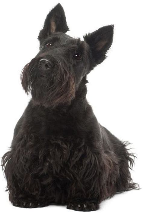 Do Scottish Terriers Shed by Top 30 Dogs That Don T Shed Small Medium And Large