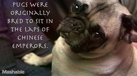 facts about pug dogs 16 totally true facts about pugs