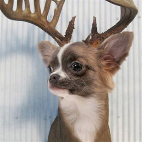 deer chihuahua puppies deer chihuahua chihuahuas and other critters