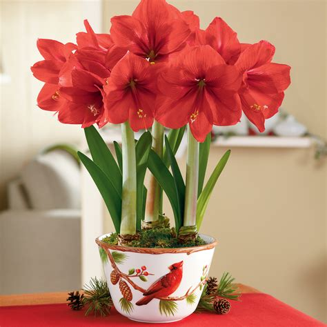 red lion amaryllis triple plant gift bulb gifts