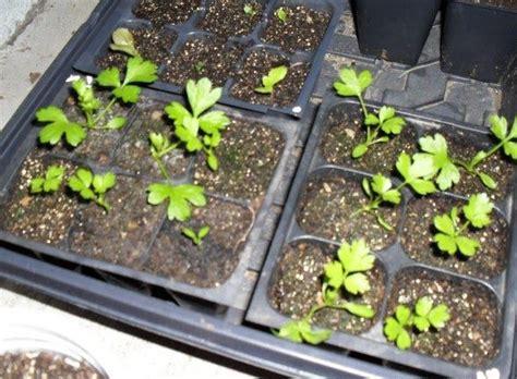 Benih Daun Seledri cara menanam daun seledri daun sop di pot atau polybag