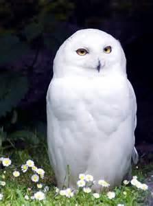 beautiful pure white owls pinterest