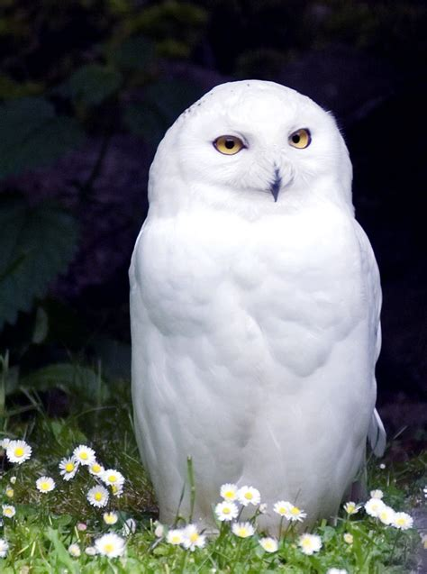beautiful pure white owls pinterest