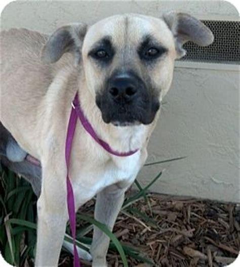 pug rescue washington state auburn wa labrador retriever pug mix meet roberto a for adoption