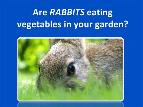 how to keep rabbits out of your backyard using animal repellent to keep rabbits out of your yard