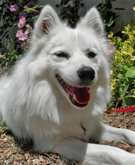 american husky puppy american eskimo husky mix breeds picture