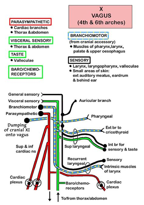 diagram of the vagus nerve instant anatomy and neck nerves cranial x