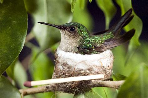 ruby throated hummingbird nest wallpaper