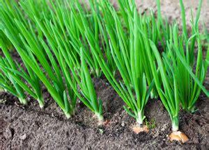 zwiebeln wann ernten zwiebeln anbauen pflege steckzwiebeln