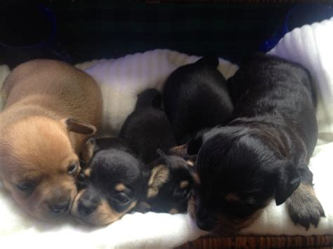 chiweenie puppies for sale black and chiweenie quotes
