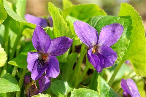 imagenes rosas violetas galer 237 a de im 225 genes violetas