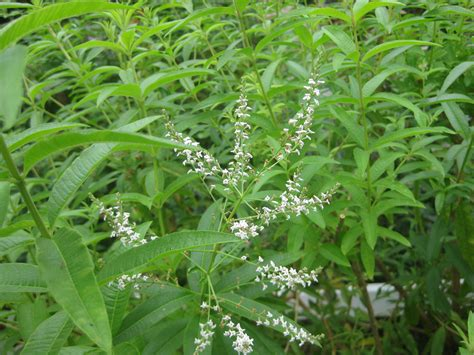 Garden Flower Plants Lemon Verbena A Must Plant The Smarter Gardener